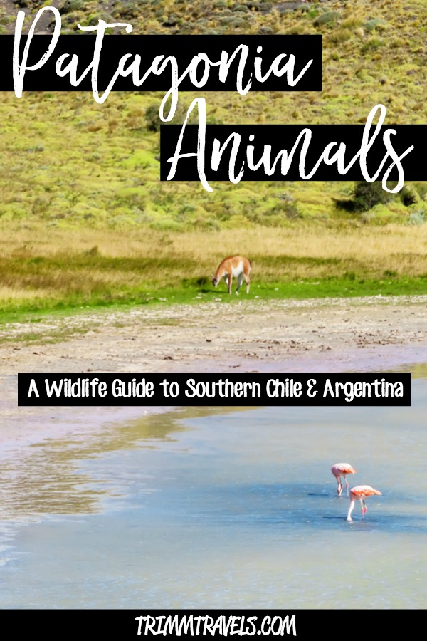 Patagonia is a dream destination. An even bigger dream is all the Patagonia animals you can see. This wildlife guide gives you info to help find them! #patagonia #chile #argentina #animals #wildlife #travelguide #southamerica #latinamerica #travel #destinations